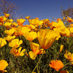 Golden poppy california 39 s state flower flowers why is the native flower and plant guide sage to meadow why is the golden poppy the state flower mightylinksfo