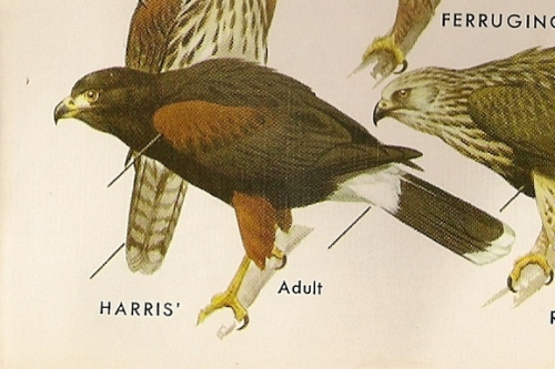 Harris' Hawk (Parabuleo unicinctus) Peterson's Field Guide