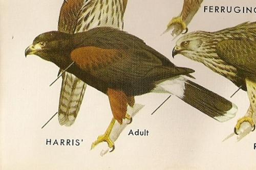 Harris' Hawk (Parabuleo unicinctus) Peterson's Field Guide