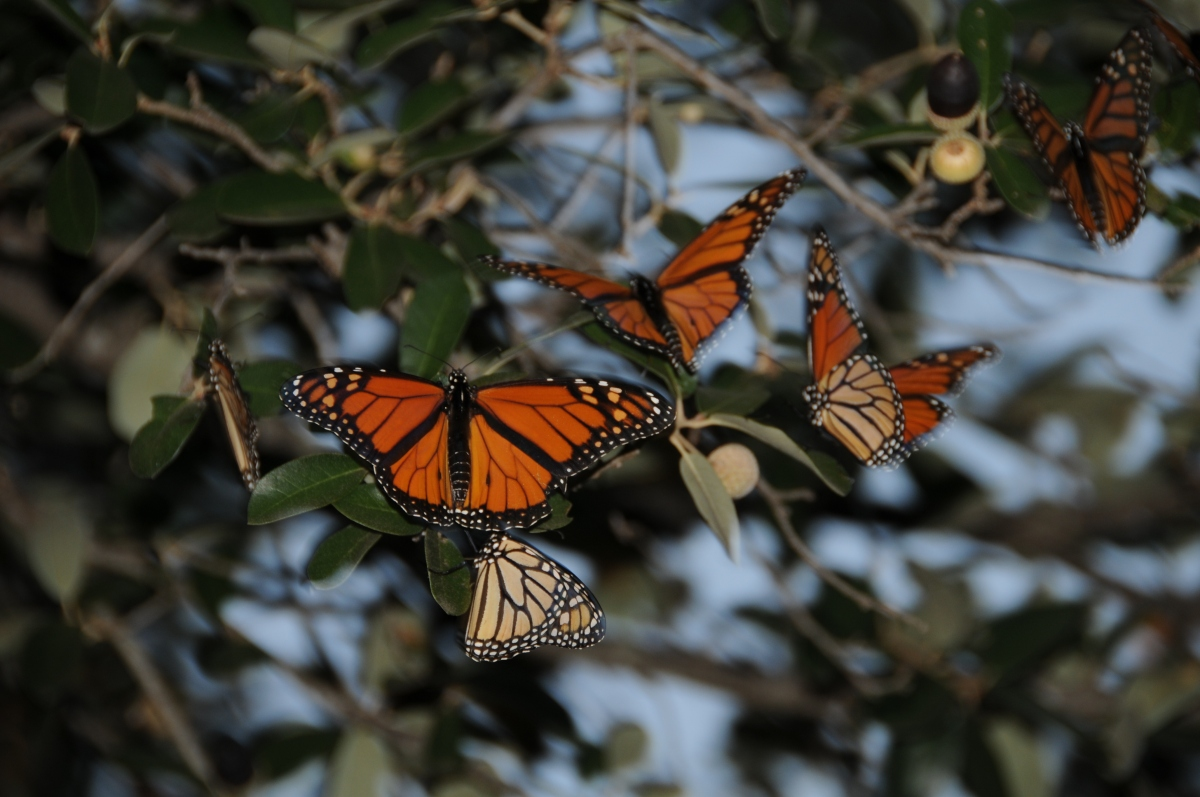 Monarch butterflies flying away - photo#45
