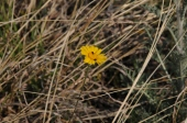 Huisache daisy or Butterfly daisy (Amblyolepis setigera).