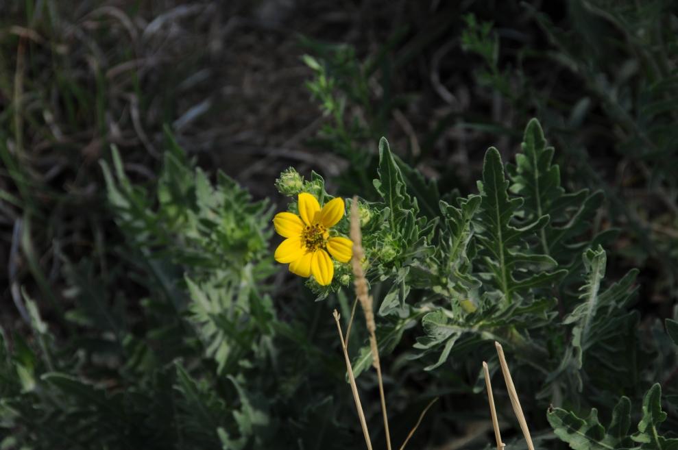 Texas groundsel or Ragwort (Senecio ampullaceus).