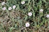 Texas bindweed (Convolvulus hermannioides).