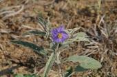 Silverleaf nightshade (Solanum elaeagnifolium).