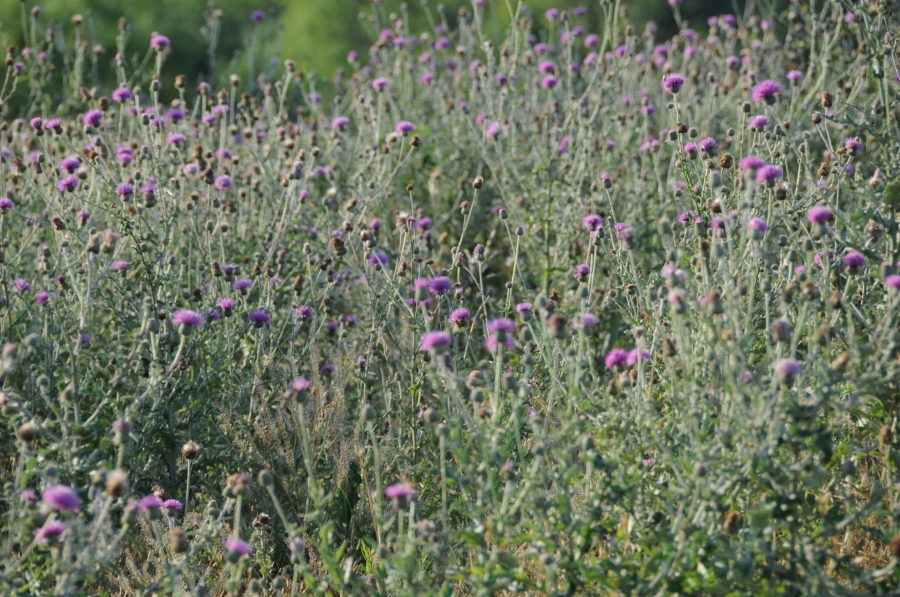 37. Texas Thistle (Aster family)